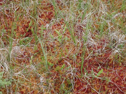 Ground cover of flat bog, Scotty Creek, NWT