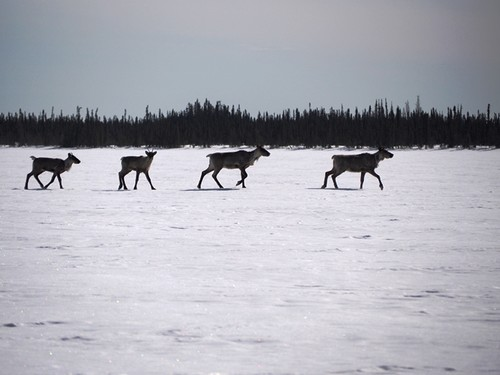 Caribou on Goose Lake.